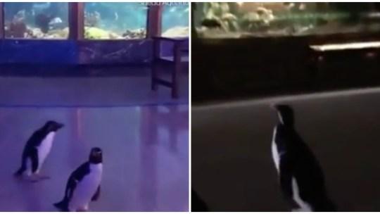 """Pinguins aproveitam aquário fechado para fazerem uma """"visita de estudo"""" ao mesmo!"""