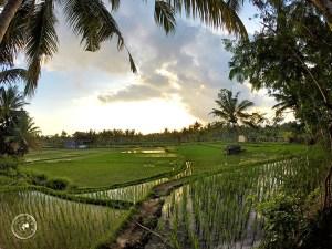 Campos de arroz a las afueras de Ubud.