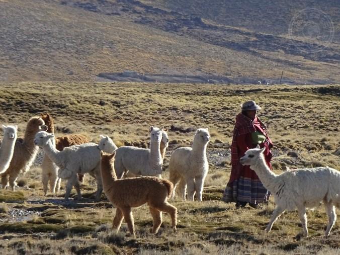 Lugareños cuidando de sus alpacas en pleno valle