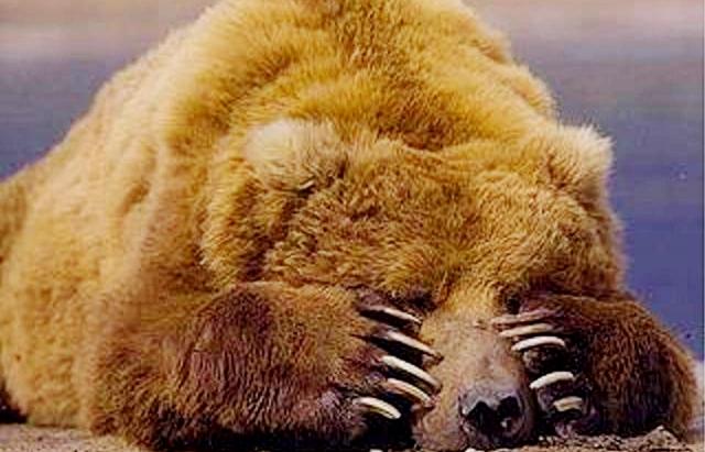 Ведмідь-шатун із Закарпаття перебрався до Словаччини і пішов до села за медом