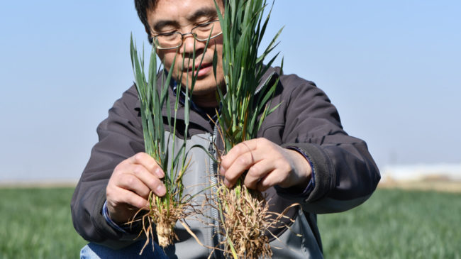 Dryland wheat crop hanging on; root development is key