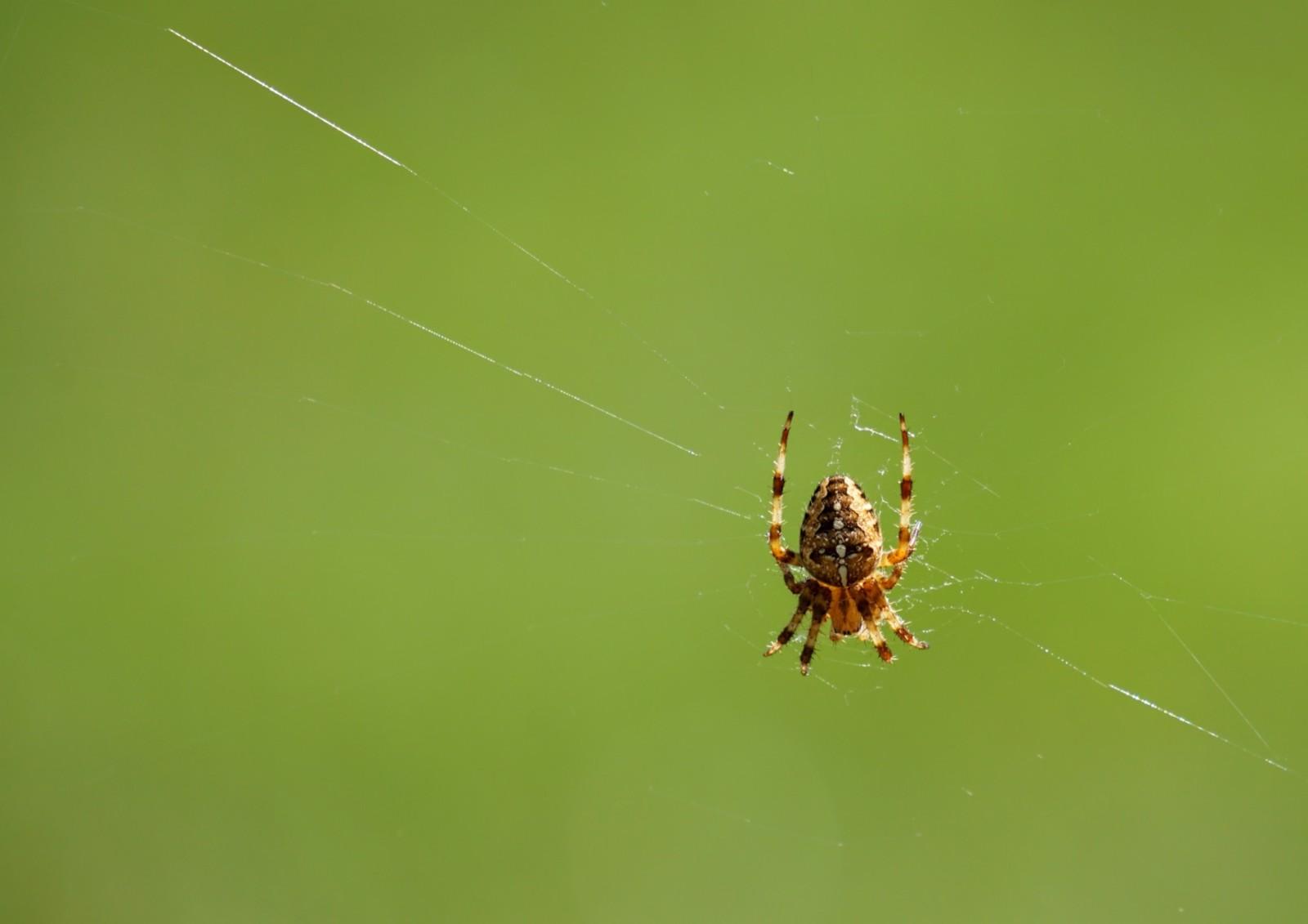 Orbweaver Spider
