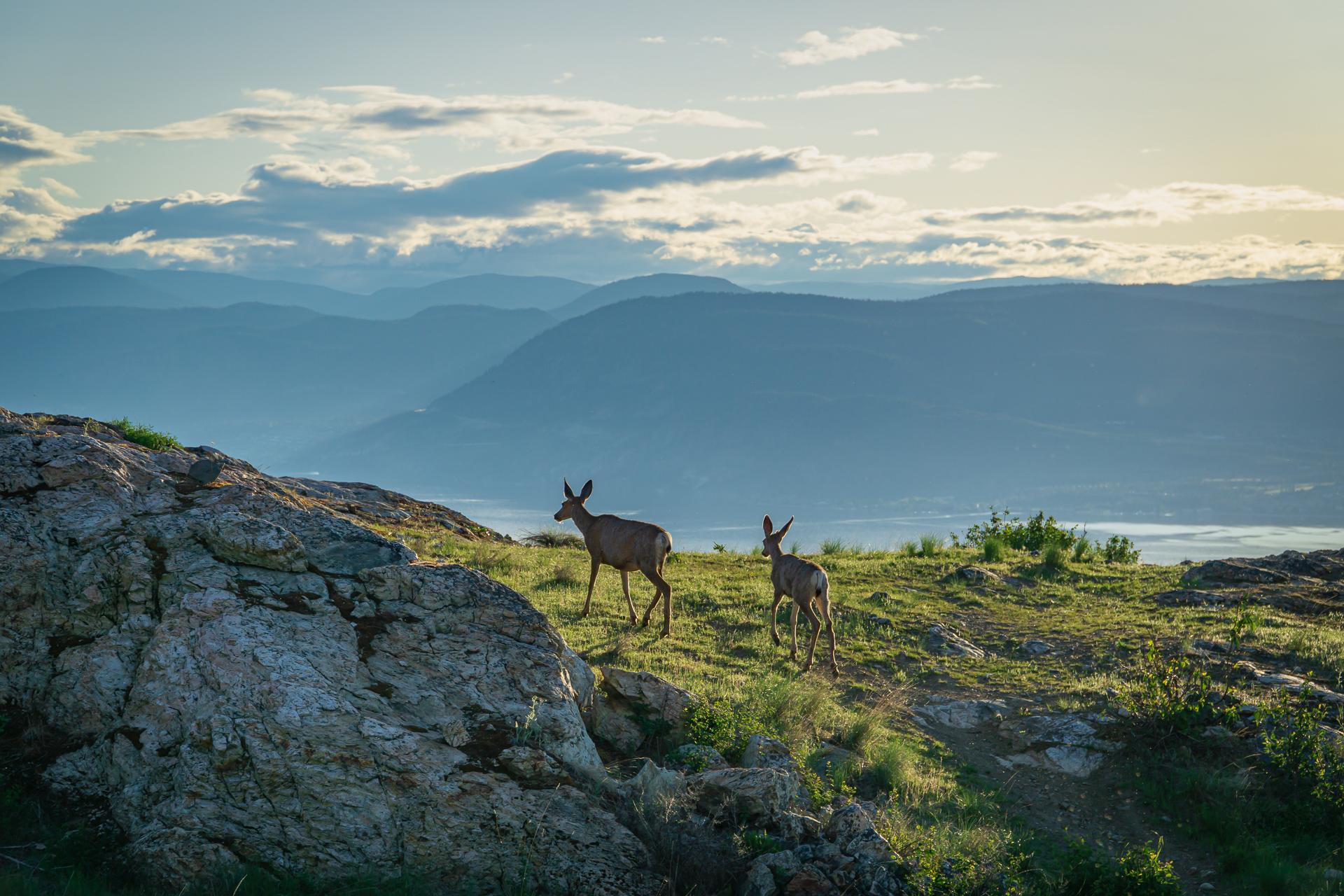 Kuipers' Peak Deer