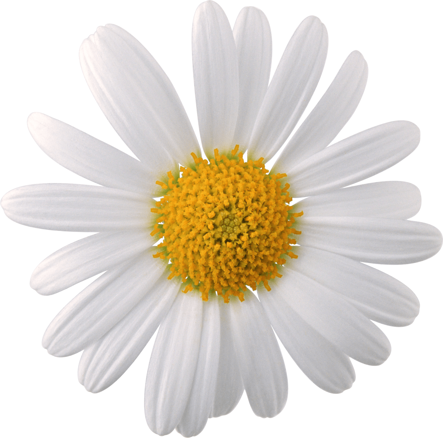 Flower Black And White Transparent Png Pictures: Margarida