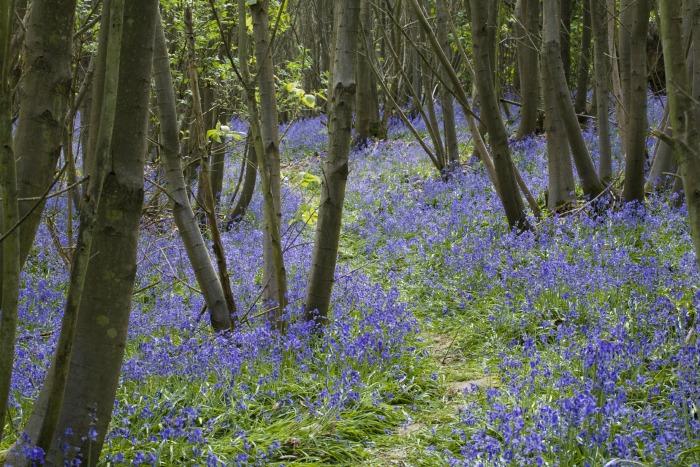 Sissnghurst Bluebells ©National Trust ImagesJonathan Buckle