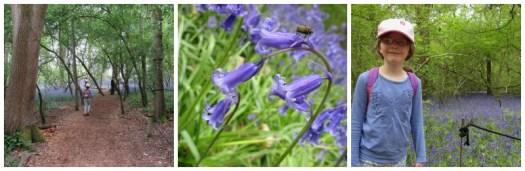hatchlands park bluebells