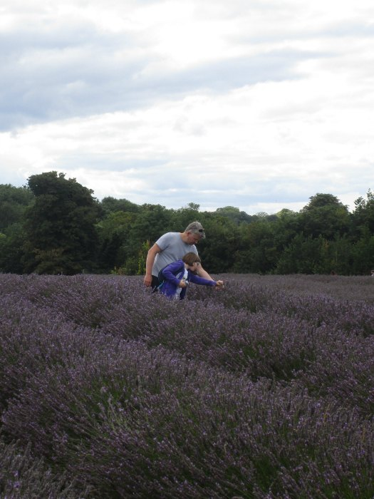 Mayfield Lavender collecting rosemary beetles
