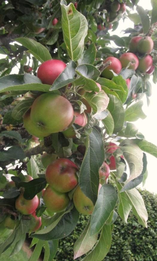 Mount Hall Apple tree