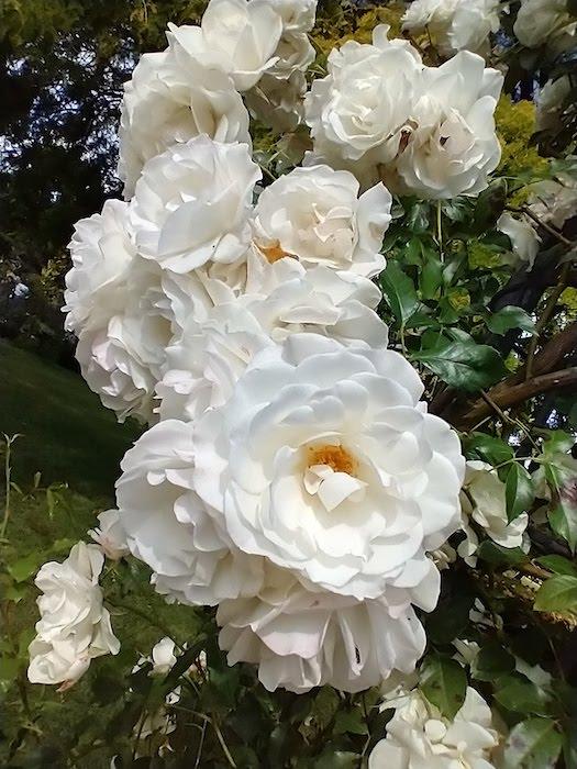 Wisley in lockdown, white roses