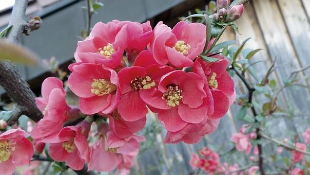 cotogno giapponese fiori