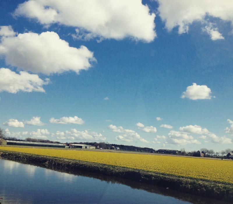 Dutch Daffodils