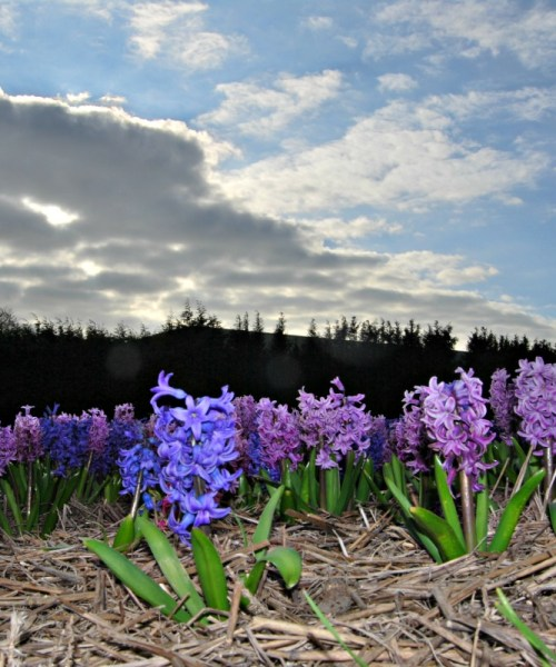 Hyacinth flower fields in Holland
