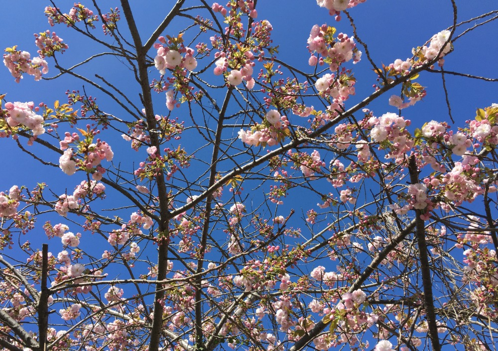 Blossom in Margate