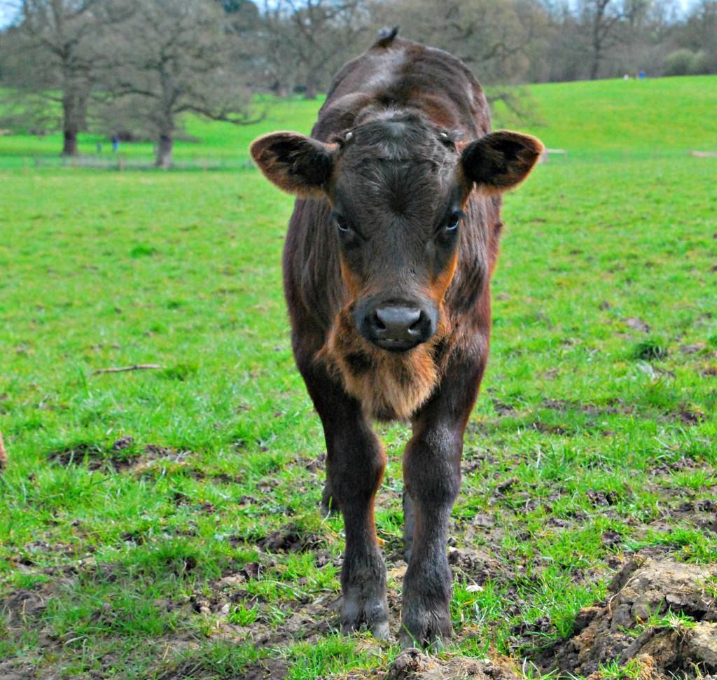 Hatchlands Calf