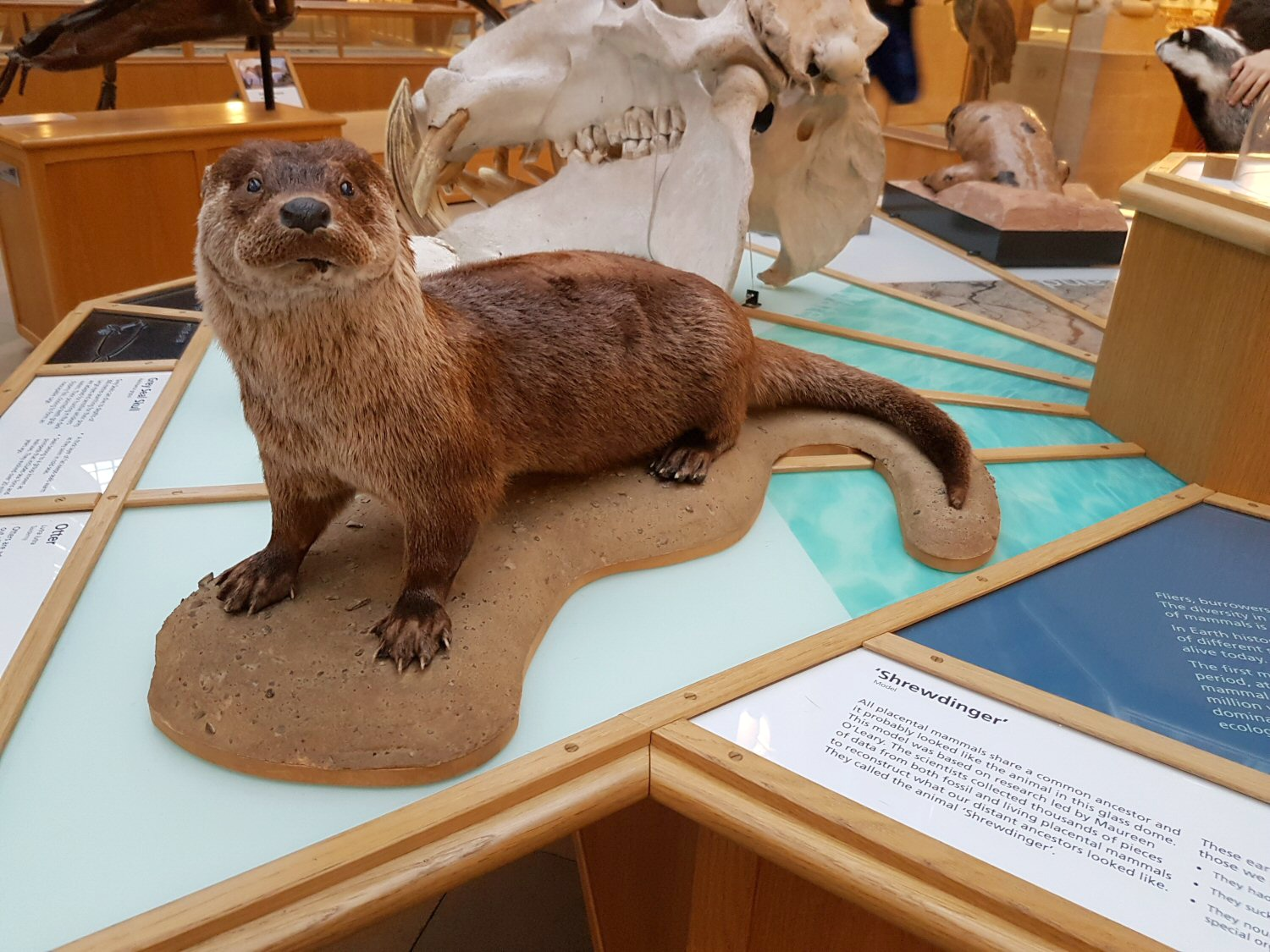 Otter - one of the exhibits at Oxford University Museum of Natural History. Our Oxford University natural history museum day out