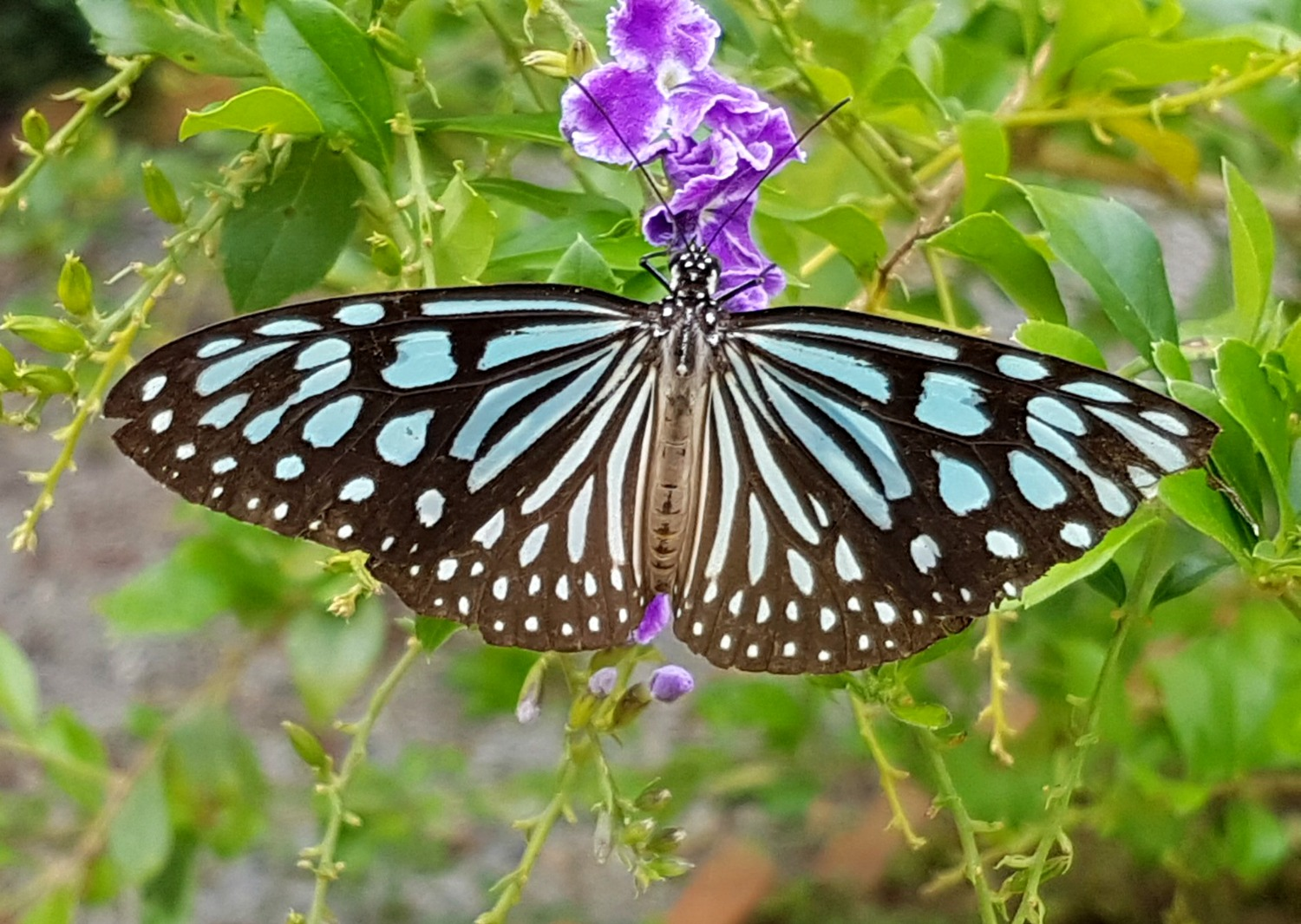 Bright blue and black butterfly on a purple flower in Kep - 12 reasons to visit Cambodia with kids