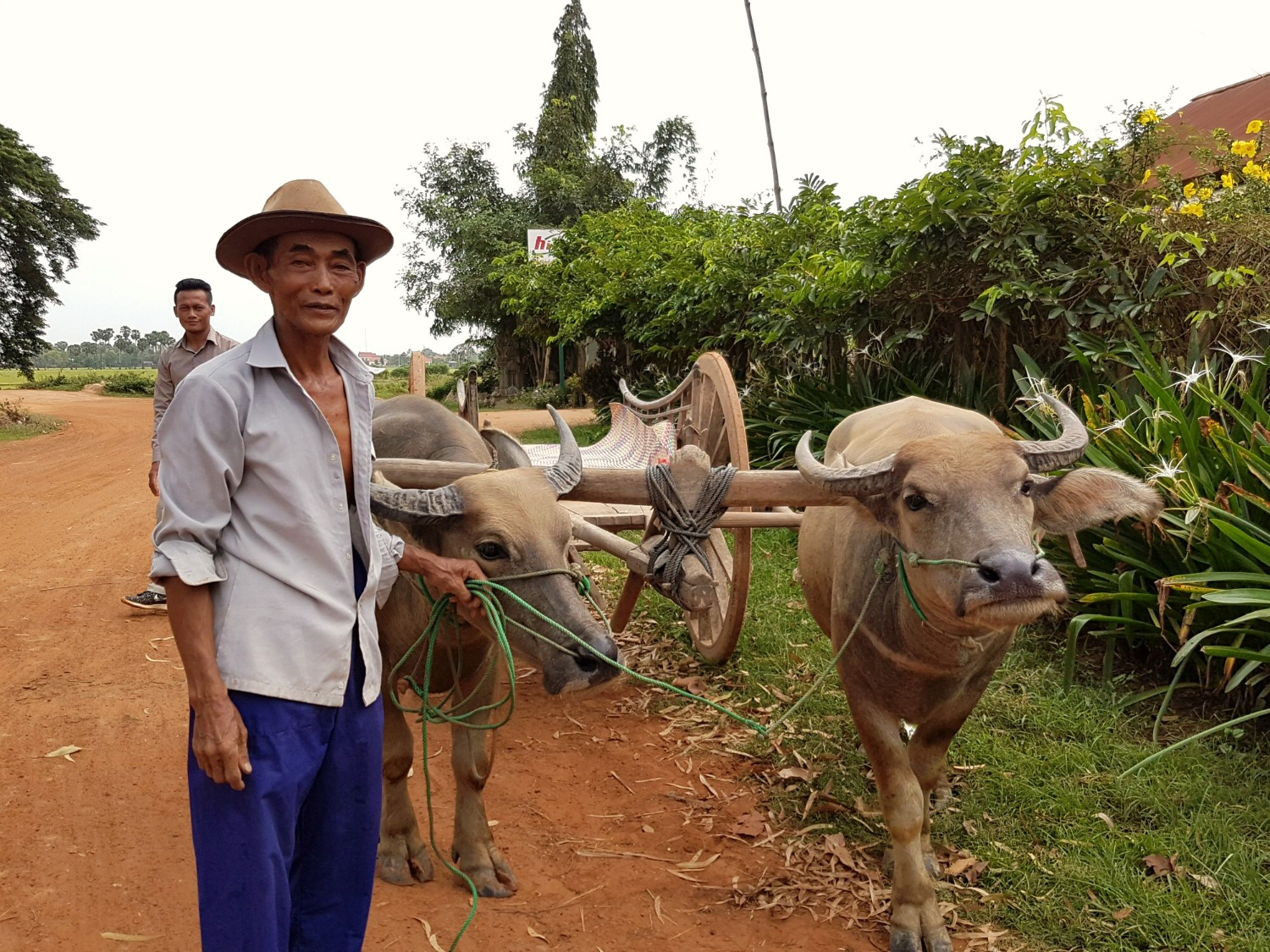 An ox cart ride in the countryside near Siem Reap, a man leads two water buffalo - 12 reasons to visit Cambodia with kids