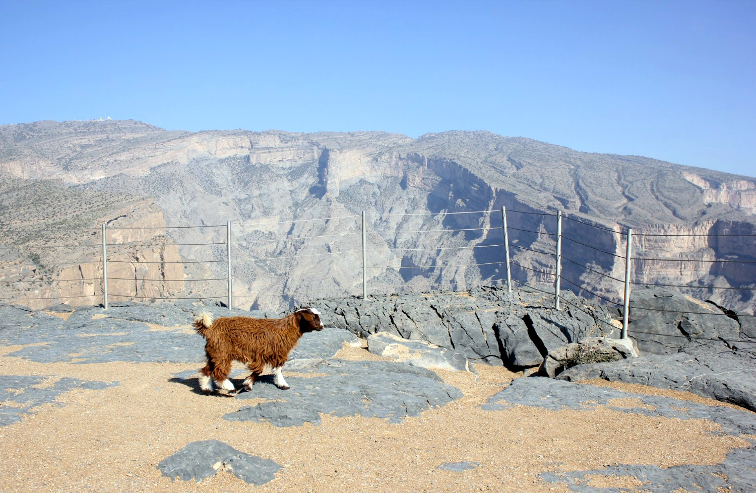 A goat wanders past the fenced edge of the canyon at Jebel Shams, the highest mountain in Oman - my nine reasons to visit Oman with kids
