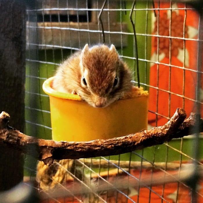Chipmunk in feeding cup