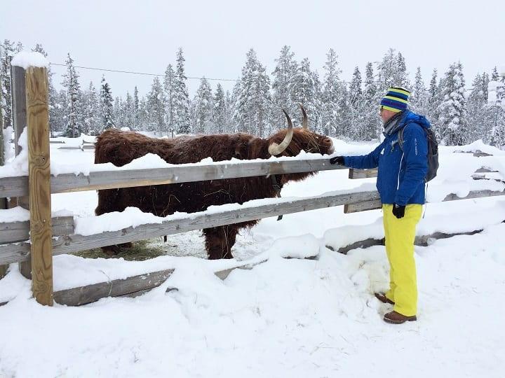 Highland bull at petting zoo