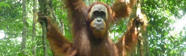 Orangutan de Sumatra