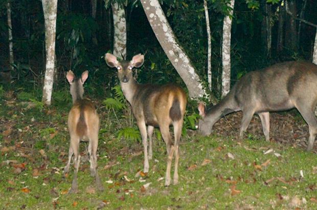 ciervos-en-el-parque-de-Khao-Yai
