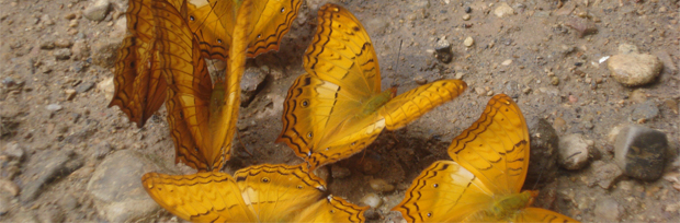 mariposas-en-umphang