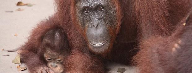 en Indonesia podras encontrar numerosos orangutanes