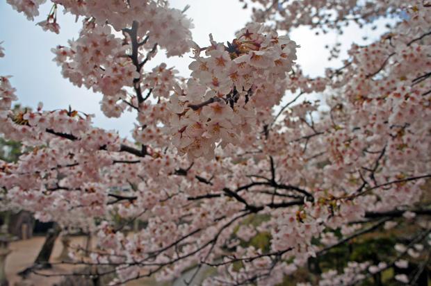 Sakura en Miyajima