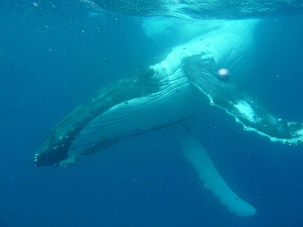 ballenas tonga 2