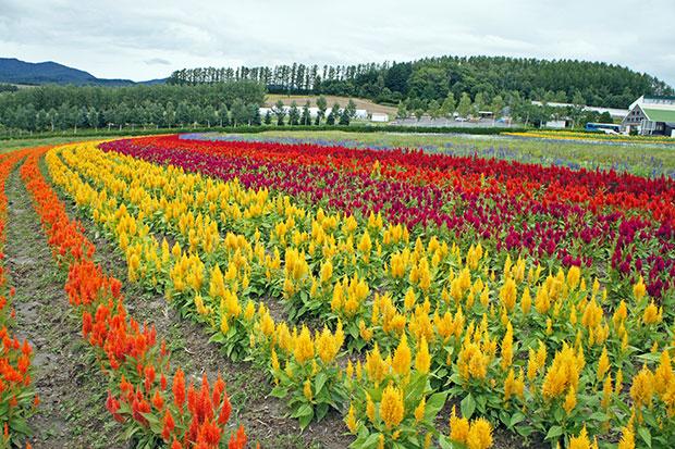 flores-de-hokkaido-2
