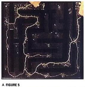 Limo, Physarum Polycephalum, escolhe o caminho mais curto entre duas rotas de um labirinto que levam à comida. Evitando caminhos sem saída. Em um artigo controverso Toshuyki Nakagaki sugere se tratar de uma forma de inteligência celular.