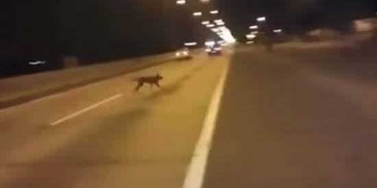 Téléportations de chiens mystérieux - Un chien mystérieux se téléporte lors d'une course automobile illégale