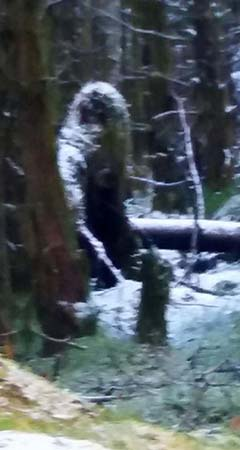 Misteriosa criatura bigfoot bosque irlandés