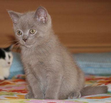 El cachorro de gato inglés