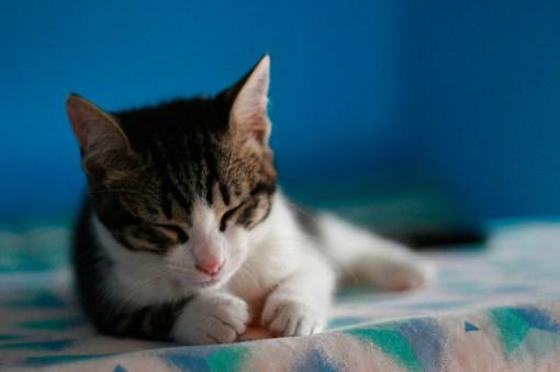Bebé del gato Común Europeo