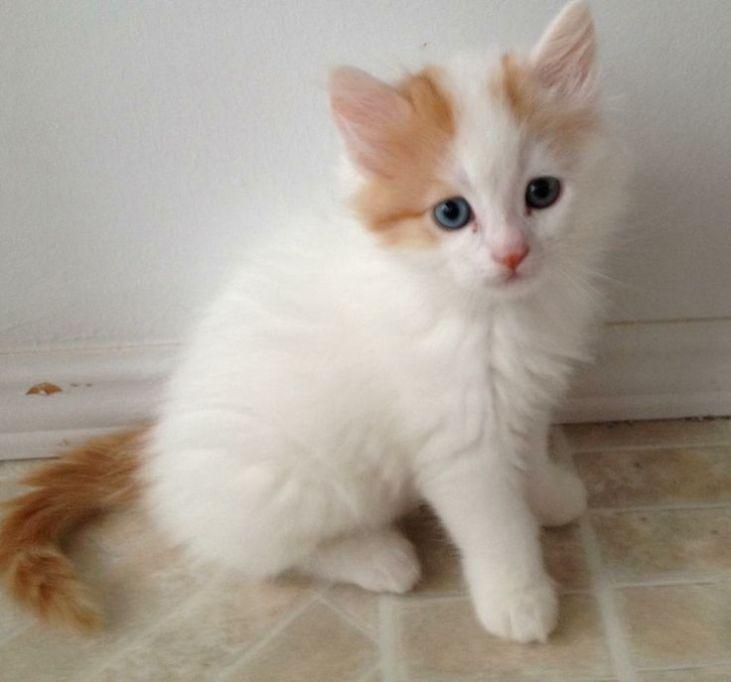 ¿Cómo cuidar a un cachorro de gato van turco?