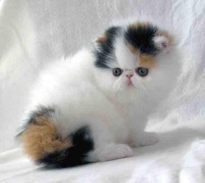 Cría de gato Persa Calicó
