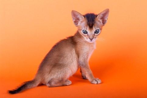 Bebé del gato Abisinio
