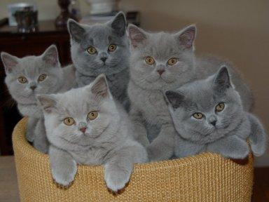 Hábitos del bebé de gato inglés