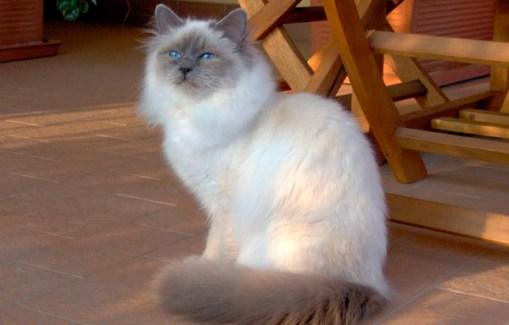 Carácter del gato Sagrado de Birmania