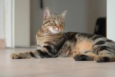 Características del gato Común Europeo