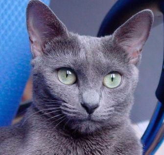 El pelaje del gato azul ruso