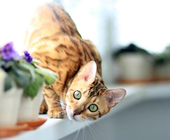 Cachorro de gato de bengala de 2 meses mundo gato - Cuidados gato 1 mes ...
