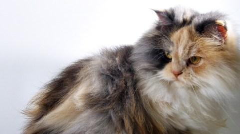 Temperamento del gato de Angora
