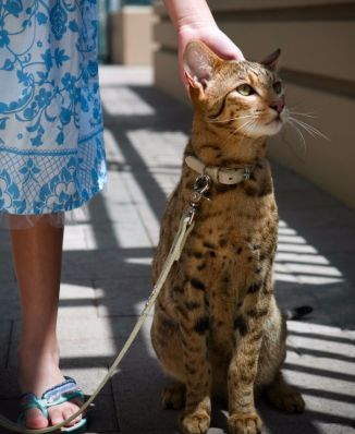 Gato híbrido Ashera