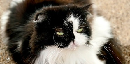 ¿Cuál es el temperamento de la raza de gato himalayo?