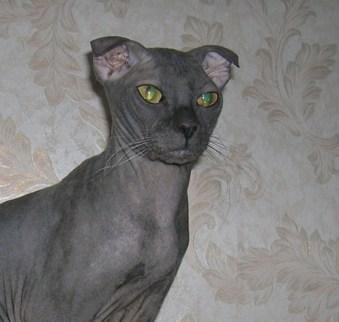 Gato Ucraniano