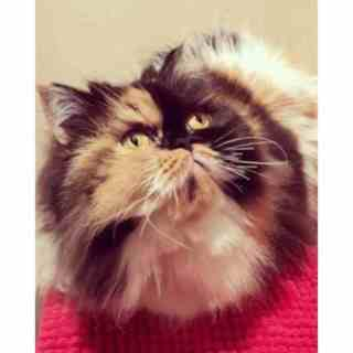 Características del gato Persa Calicó