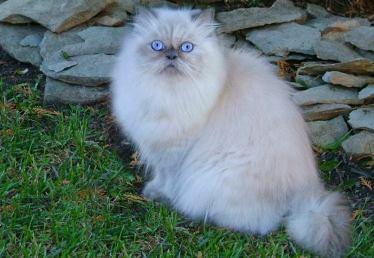 No debemos irrumpir la tranquilidad de los gatos Persa